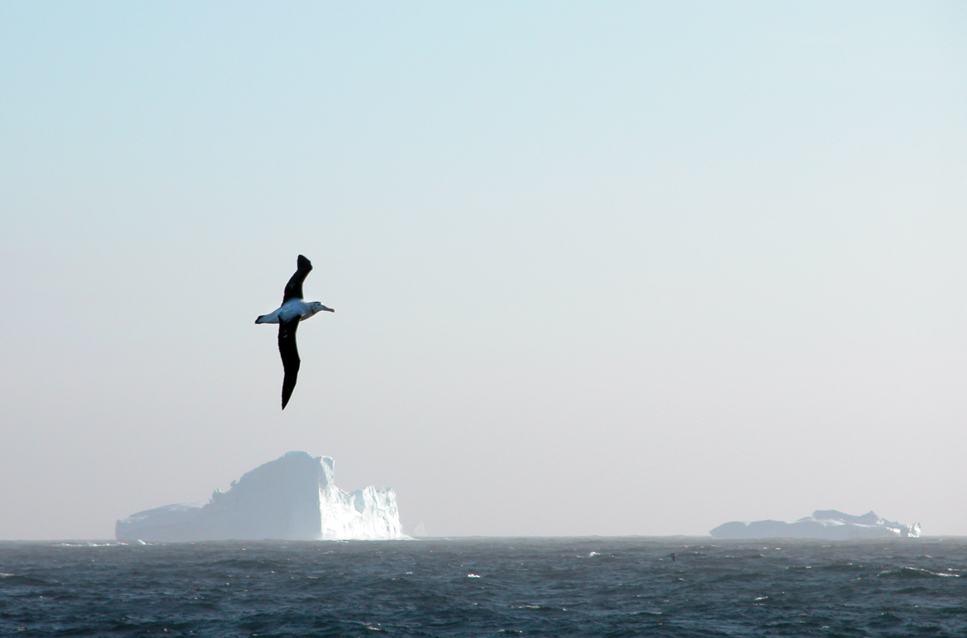 A wandering albatross in front of Icebergs off the coast of South Georgia.
